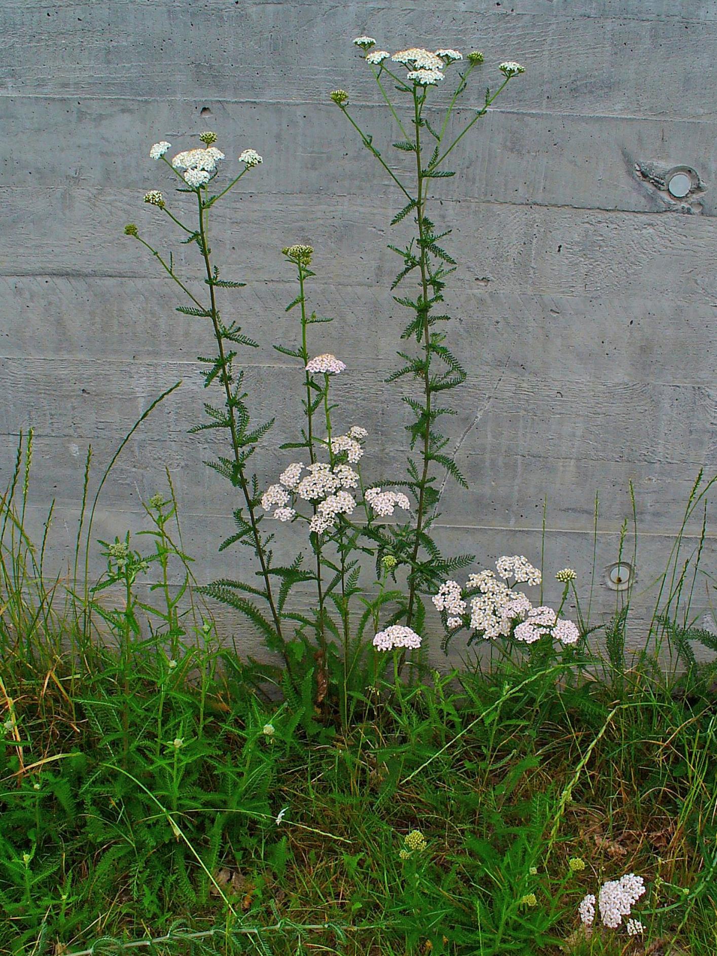 Achillea millefolium 001
